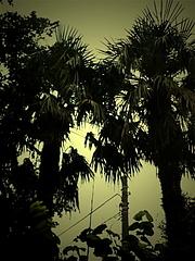 101020棕櫚
