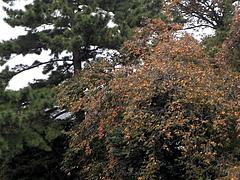 101114柿の木