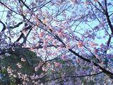 070312大寒桜