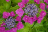 070621紫陽花