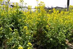 110416菜の花