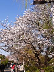 110406桜@石神井公園
