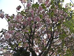 1000501八重桜