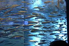 100815マイワシ@サンシャイン国際水族館