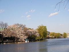 080401石神井公園の桜