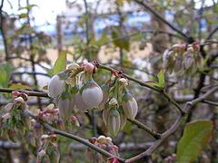 080405ブルーベリーの花