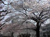 060328桜