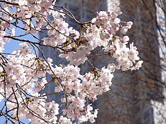 110404桜
