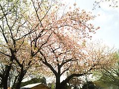 100413八重桜