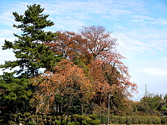 101123柿の木