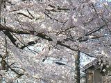070330桜1