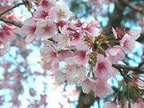 070313大寒桜