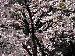100430桜