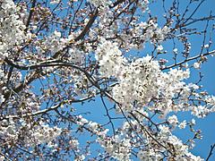 110401桜