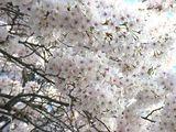 070330桜2