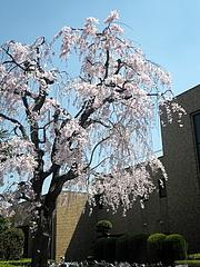 110414枝垂桜