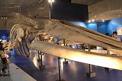 100813シロナガスクジラ骨格標本@科学博物館大哺乳類展
