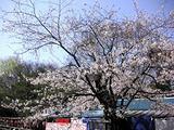 060331三宝寺池豊島屋桜