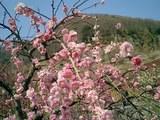 湯河原・幕山公園の梅は見事でした