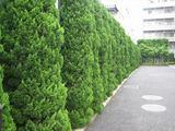ヒノキ類は日本の気候に合いマンション植栽の主流です。