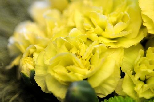 黄色のカーネーション 2
