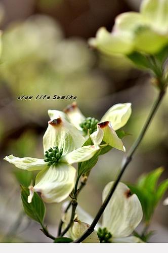 花水木 2