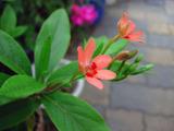 可愛い赤い花