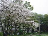 桜の花びらが舞う・・・