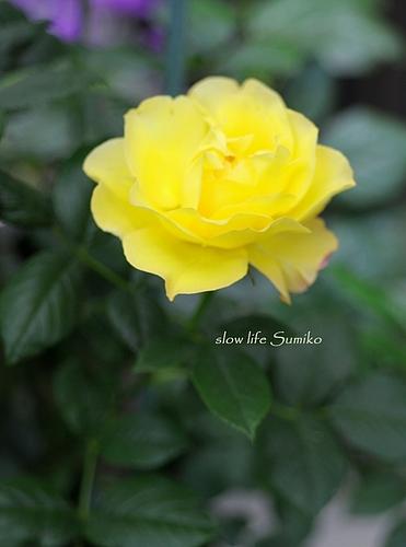 黄色の薔薇 ♪