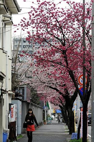 寒緋桜と大寒桜 2