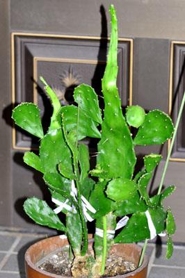 cuctus
