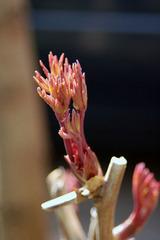 牡丹の芽が