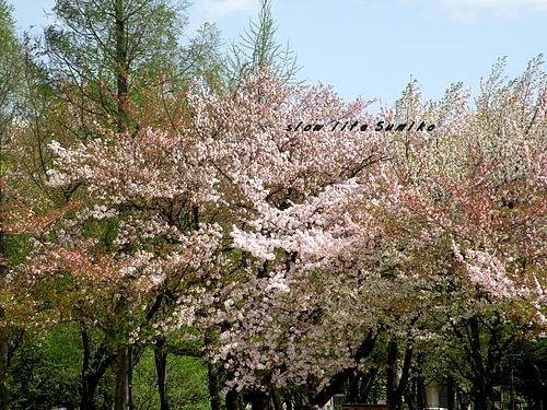 桜も最後〜♪