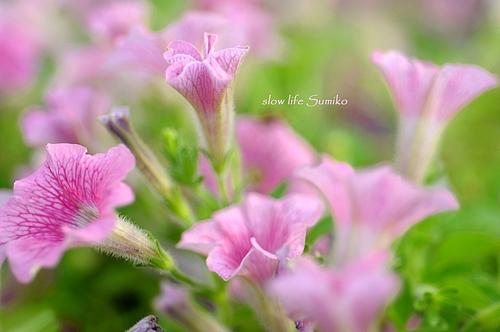 夏色の花 ♪