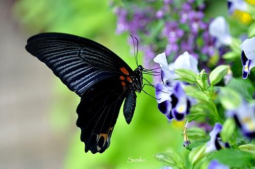 黒い蝶 ♪