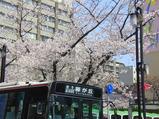 地下鉄・藤が丘の桜