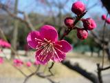 梅が咲き出して・・・