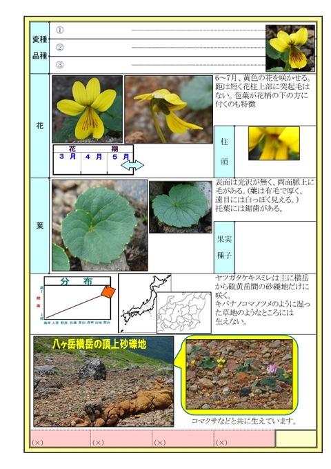 ヤツガタケキスミレ-page2