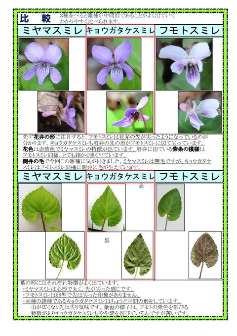 キョウガタケスミレ観察記録-2