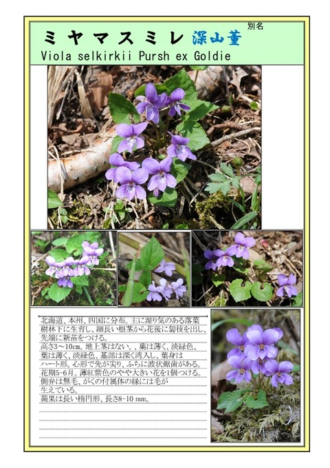 ミヤマスミレ-page1