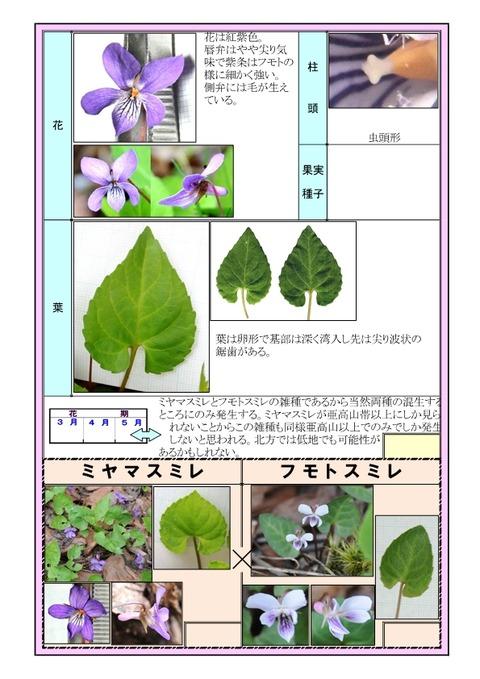 キョウガタケスミレ-2