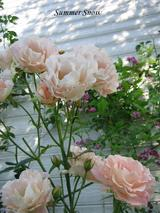 Rose ロココ