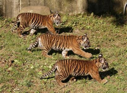 虎の画像 p1_4