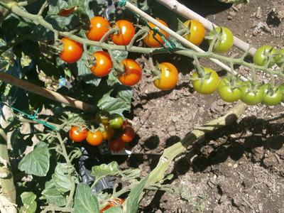 店裏菜園2015ミニトマト