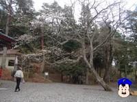 日枝神社のさくら