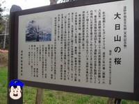 大日山の桜は樹齢300年以上!