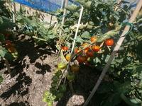 店裏菜園2015トマト