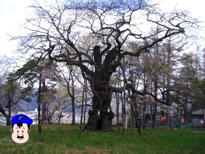 大日山の桜 エドヒガンザクラ