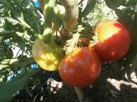 店裏菜園2015トマト!