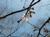 開花宣言、岡山後楽園の桜の花開く。 2009.3.21